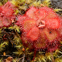 Sundew (Drosera cuneifolia), from Table Mountain. Western Cape, South Africa.