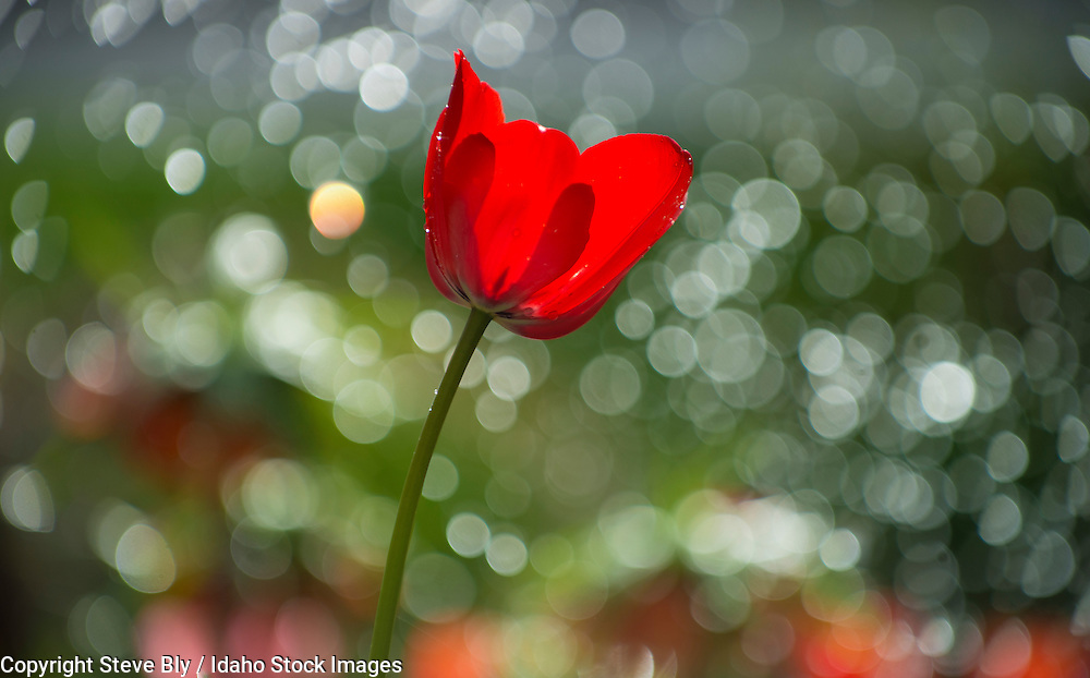 Flowers, Close-up of Red Tulip backlit by a floral back ground and water droplets. USA
