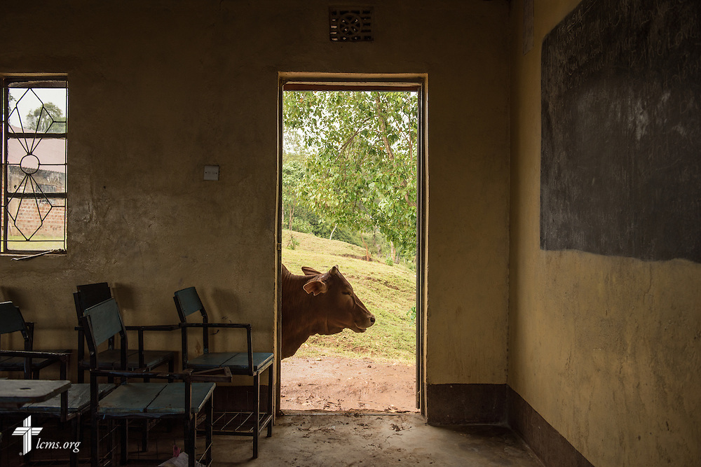 A milking cow wanders through the U-Dom ELCK (Evangelical Lutheran Church in Kenya) Project 24 site on Wednesday, June 22, 2016, in Chepareria, Kenya.  LCMS Communications/Erik M. Lunsford
