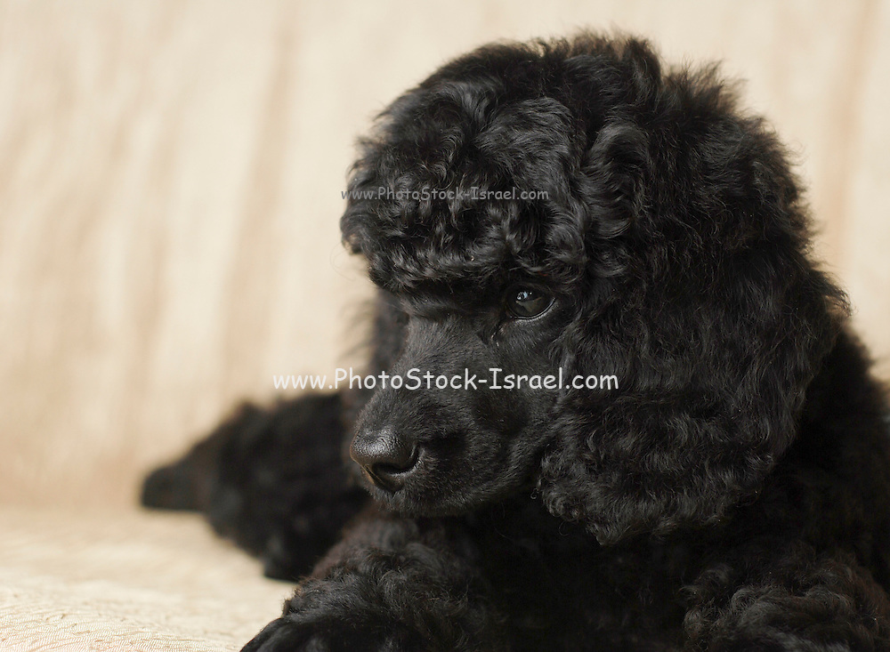 black miniature poodle puppy