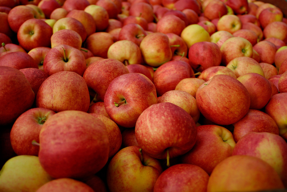 KELOWNA, BC- 08/10/09 -  Freshly picked apples.  Photo by Daniel Hayduk