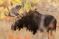 First of October and this Bull Moose is on a mission to get out of the river bottoms and up the hill!