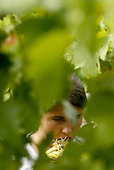 While relaxing for a while during the harvest, a girl eat some grapes. The Douro river valley wine region is the oldest in the world. It's were  famous Port wine is produced  and its landscape was declared Unesco World Heritage. The Douro river is born in Spain and reaches its mouth in Oporto city. MAXIMUM QUALITY AVAILABLE