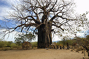 Africa, Tanzania, Lake Eyasi National Park Baobab tree
