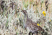 Gunnison Sage-Grouse (Centrocercus minimus) a female or hen found at the Curecanti National Recreation Area, Colorado