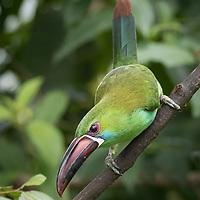 Aulacorhynchus haematopygus, Ecuador