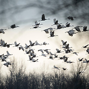 February 2, 2012 - Cecilia, Kentucky, USA - Sandhill cranes feed in an old corn field as they gather at a roosting location along their winter migration route.  According to counts made by biologists with the Kentucky Fish and Wildlife Resources, about 6,900 of the birds stopped in Cecilia on Tuesday night during their winter northward migration on their way to their nesting grounds in the Great Lakes Region. These birds, which are part of the Eastern population of sandhill cranes, are part of a group estimated to be larger than 70,000 birds, many of which were wintering in Florida. The migration in Kentucky is expected to be peaking at this time based on historical data gathered by wildlife biologists with the Kentucky Department of Fish and Wildlife Resources. For the first time in nearly a century, Kentucky just completed a hunting season on sandhill cranes. The season, which ran from Dec. 17, 2011, to Jan. 15, 2012, resulted in a harvest of 50 birds. The hunting season was scheduled to fall between the southward and northward migrations in order to maximize the viewing potential of the birds but still allow for hunting opportunity. (Credit Image: © David Stephenson/ZUMA Press).