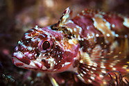 Karalepis stewarti (Scaly-headed triplefin)