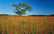 Oak tree on tall grass prairie<br /> Tolstoi Tall Grass Prairie Preserve<br /> Manitoba<br /> Canada