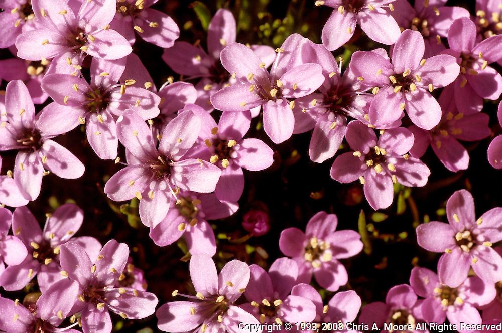 Moss Campion blooms on Mt Goliath, Colorado.