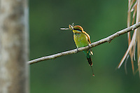 Rainbow Bee-eater (Merops ornatus) with a cicada prey.