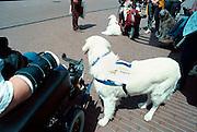 Nederland, Nijmegen, 22-6-2001..Geleidehonden, hulphonden voor gehandicapten ..Foto: Flip Franssen