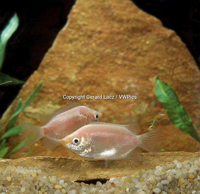 Kissing Gourami, helostoma temminckii, Aquarium Fishes