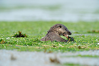 Otter feeding on eel in estuary of River Tweed,<br /> Lutra lutra,<br /> Northumberland, England - July