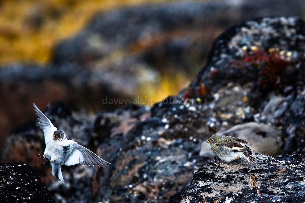 Snow Bunting fledgling waiting to be fed by mother, who is landing, photographed on nunatuk, face of Humboldt Glacier, northwestern Greenland.
