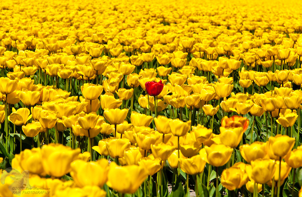 A lone red tulip stands out from the crowd in a field surrounded by yellow tulips.