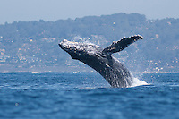 I was looking for subjects to photograph while kayaking in La Jolla during a strong El Nino when an extremely rare site of a Humpback Whale breaching in San Diego occurred right in front of me.