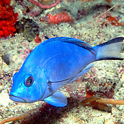 Blue Hamlet inhabit reefs in South Florida and Keys; picture taken Palm Beach, FL.