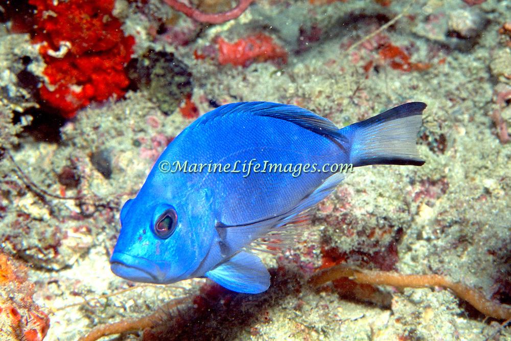 Blue Hamlet inhabit reefs in South Florida and Keys; picture taken Palm Beach, FL.