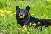 Closeup photo of Black Bear Sow eating Dandelions, (Ursus americanus). Southeast Alaska, Tongass National Forest.