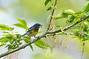 Northern Parula, Setophagaamericana, male, Monroe county, Michigan