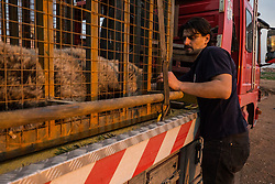 March 30, 2017 - Mosul, Nineveh Province, Iraq - DR. OVIDIU ROSU secures LULA on the truck before the Four Paws International team evacuates from the zoo. A lion and a bear, just rescued from Mosul's zoo, are prepared to fly to safety outside Iraq and into Erbil, Kurdistan. The two animals nearly starved to death in their cages while battle raged around them in the Iraqi city earlier this year. Several other animals at the zoo died from neglect but these two were finally rescued by the animal charity Four Paws. (Credit Image: © Gabriel Romero via ZUMA Wire)