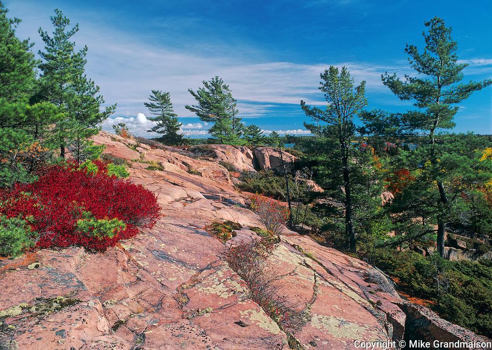 White pines (Pinus strobi) on pink granite. Chikanishing Trail along Georgian Bay on Lake Huron<br /> Killarney Provincial Park<br /> Ontario<br /> Canada