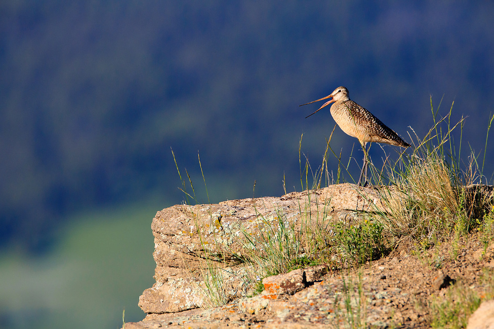 Marbled Godwit, Rocky Mountain Front. Montana.