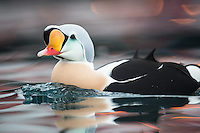A male King Eider portrait. These Arctic birds migrate from Siberia to winter in bays around the east coast of Finnmark in Norway, were they gather near docks and fishing vessels.