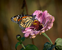 Monarch Butterfly on a Pink Flower. Autumn Backyard Nature in New Jersey. Image taken with a Fuji X-T2 camera and 100-400 mm OIS telephoto zoom lens (ISO 200, 300 mm, f/5.6, 1/320 sec)