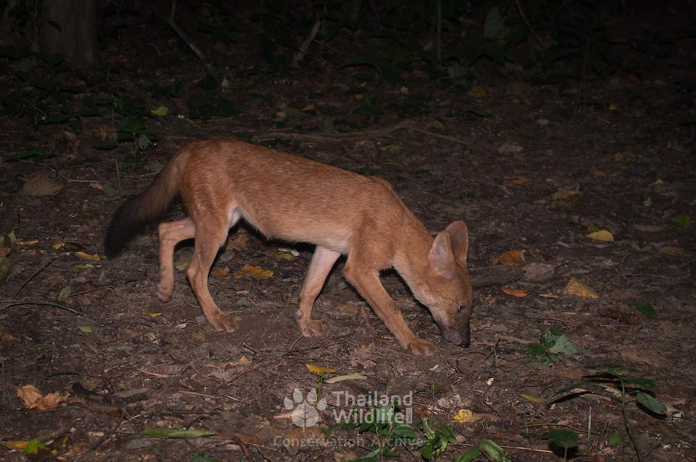 Dhole (Cuon alpinus) or Asian Wild Dog, in Kaeng Krachan National Park, Thailand.