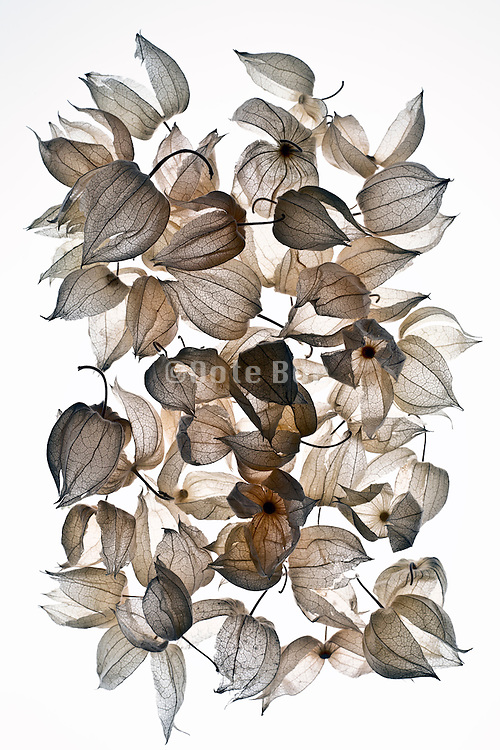 vessels of a Chinese Lantern Plant also called Bladder Cherry - Physalis alkekengi
