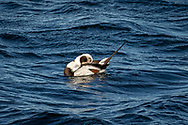 A male long-tailed duck preening