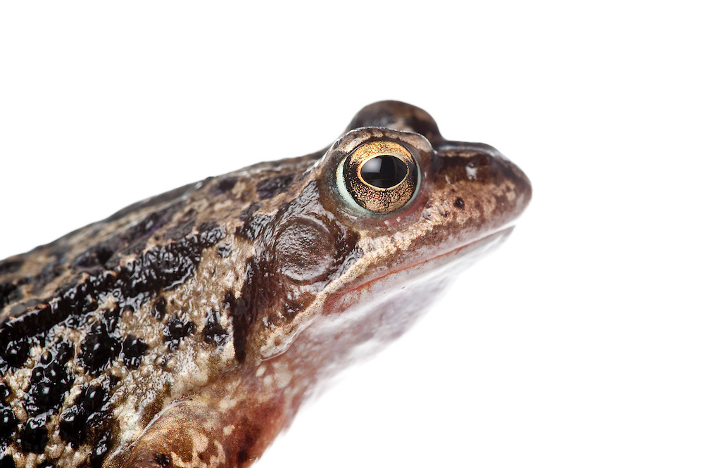 Comon frog, portrait, in the field studio