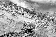 Decaying western juniper along the Homestead Trail next to the Crooked River in Smith Rock State Park, Oregon