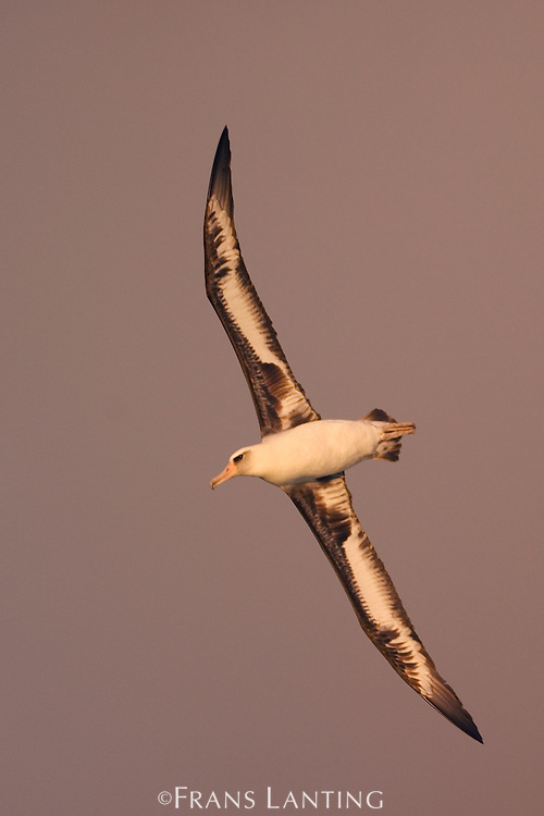 Laysan albatross in flight, Phoebastria immutabilis, Tern Island, Hawaiian Leeward Islands