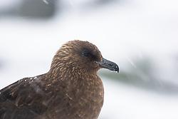 Brown Skua (Stercorarius antarcticus) in the snow, Antarctica