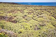 Euphorbia balsamifera growing on lava flows Malpais de Corona, Lanzarote, Canary Islands, Spain
