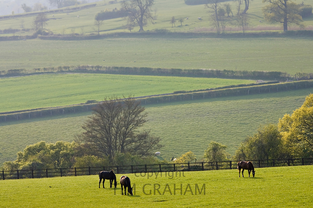 Bay horses grazing, Chedworth, Gloucestershire, United Kingdom