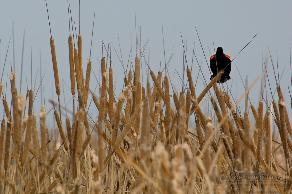 Red-winged blackbird in Cattail reeds in marsh, Merced National Wildlife Refuge, Central Valley, California