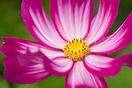 A close-up of Cosmos bipinnatus, a magenta and white Mexican Aster with a yellow centre.