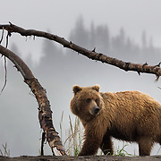 Adult grizzly bear walking amongst deadfall along the Cook Inlet, Alaska.