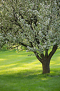 Flowering crab-apple tree in moring light.