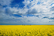 Canola crop, clouds and graineries<br /> Eyebrow<br /> Saskatchewan<br /> Canada