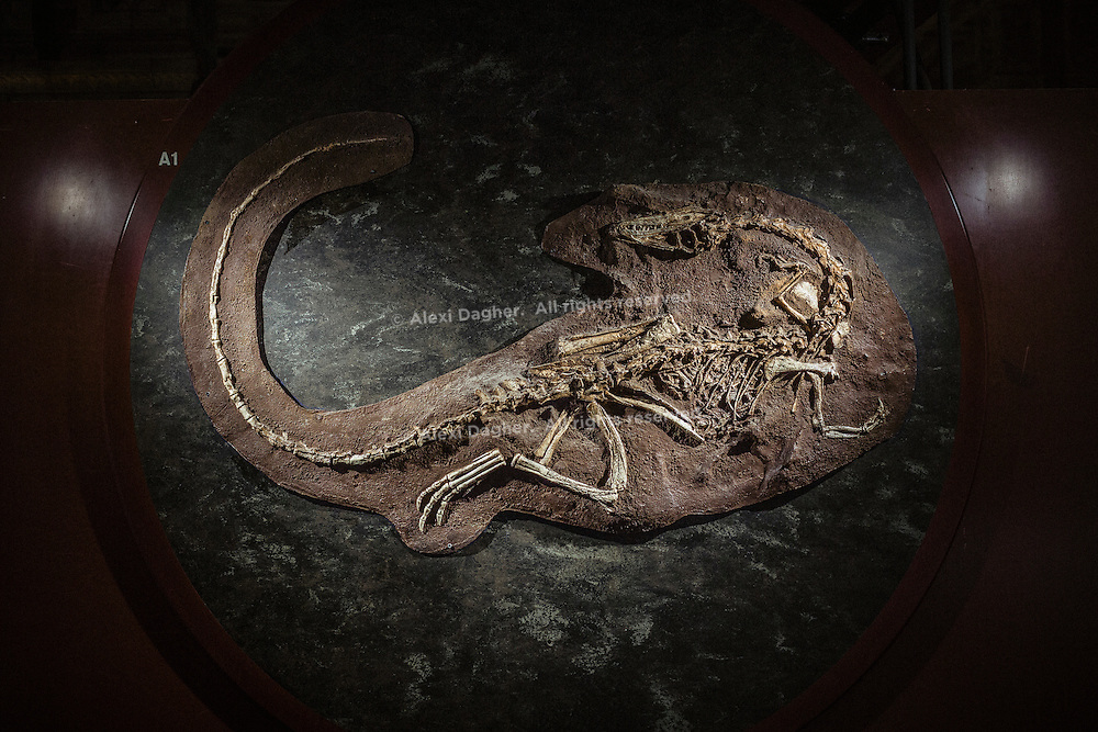 Coelophysis Fossil At The Natural History Museum - London, England, 2016