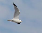 Seagulls in Dauphin Island.