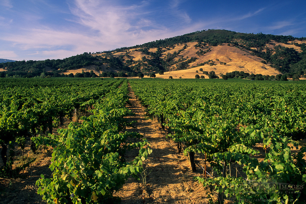 Wine grape vines, Redwood Valley, Mendocino County, California