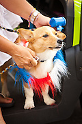 A dog participant in the I'On Community 4th of July parade.