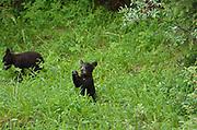 American black bear (Ursus americanus) <br />Banff National Park<br />Alberta<br />Canada