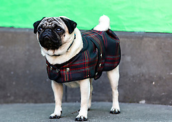 Cast and crew attend a special screening of Patrick at the Edinburgh International Film Festival.<br /> <br /> Directed by Maddie Fletcher it stars Beattie Edmondson<br /> <br /> Pictured: Harley the dog